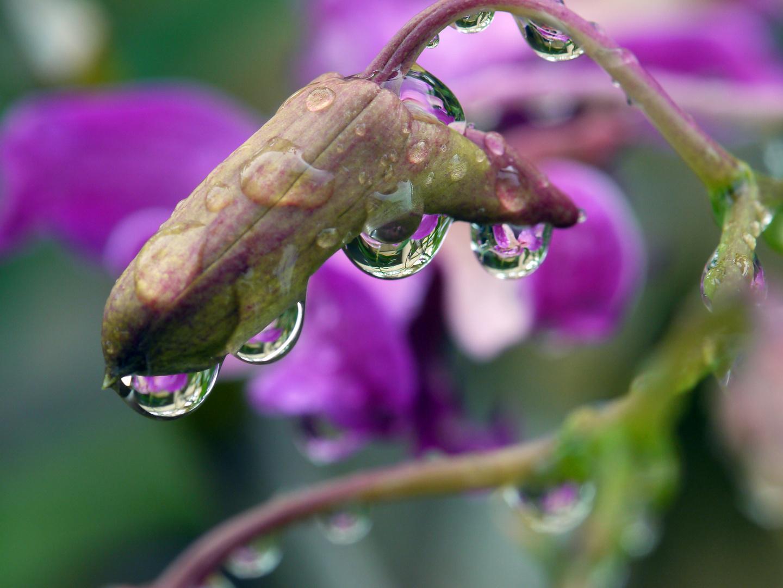 Orchideen Knospen