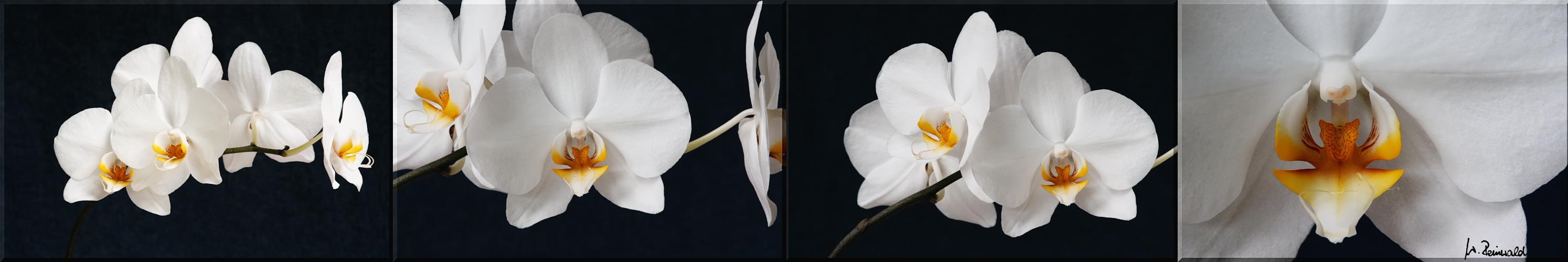 Orchideen-Schieber