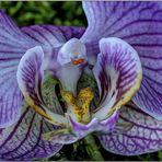 Orchideen-Schönheit : HDR Macro