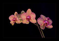 Orchideen Spielerei