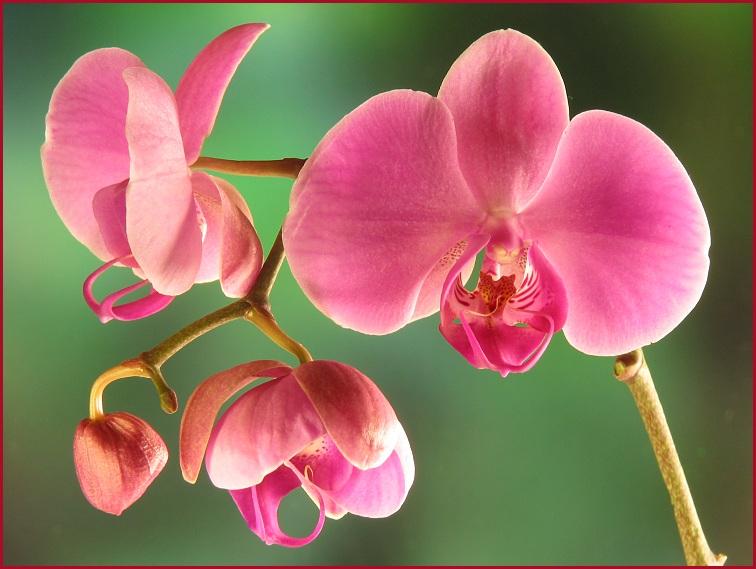Orchideen-Studie #96
