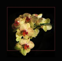 Orchideen - Traube-reload