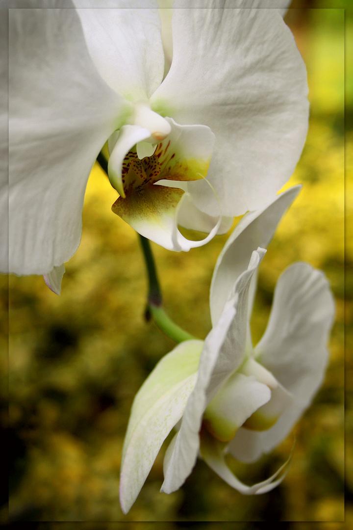 ~Orchideen XIII~