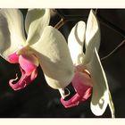 Orchideen-Zwillinge