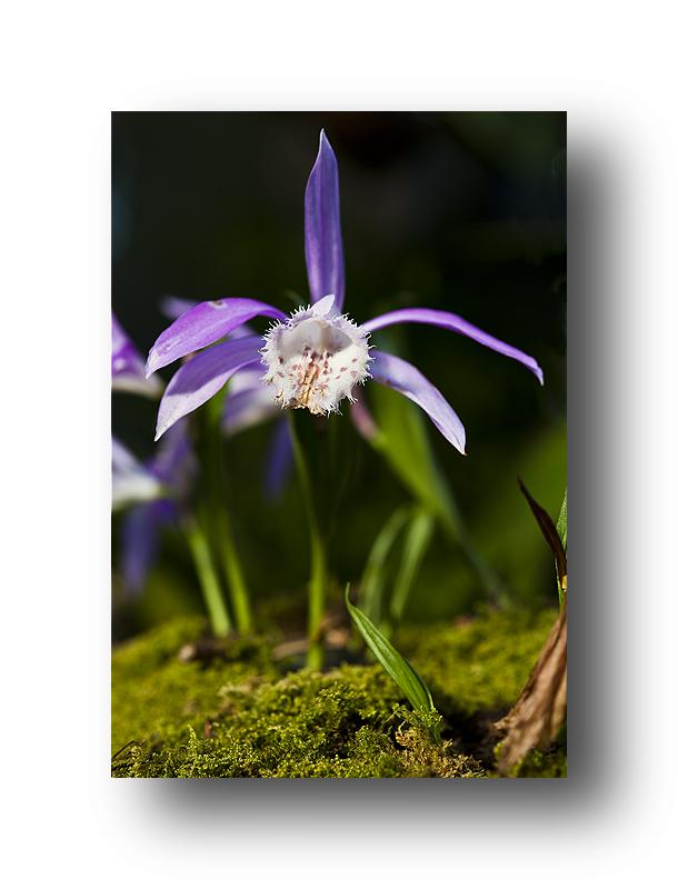 Orchideenausstellung im Palmengarten (Frankfurt)