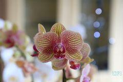 Orchideenblüte im Lichterspiel