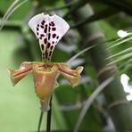 Orchideenblüte in der Biosphäre Potsdam