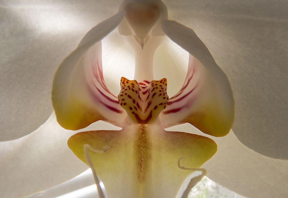 Orchideenblüte (Markro)