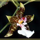 Orchideenblüte (Odontoglossum)