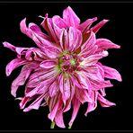 Orchideendahlie `Bristol Stripe` - 1 -