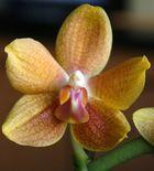 orchideenenengel
