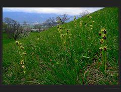 Orchideenmätteli