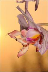 ~Orchideenmantis~