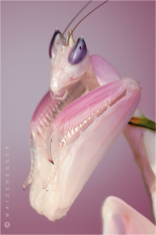 Orchideenmantis (Hymenopus coronatus)