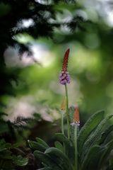 Orchideenprimel