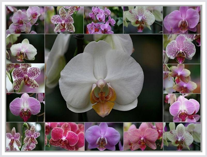 Orchideenreigen