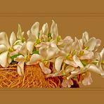 Orchideenriespe