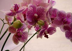 Orchideenrispe