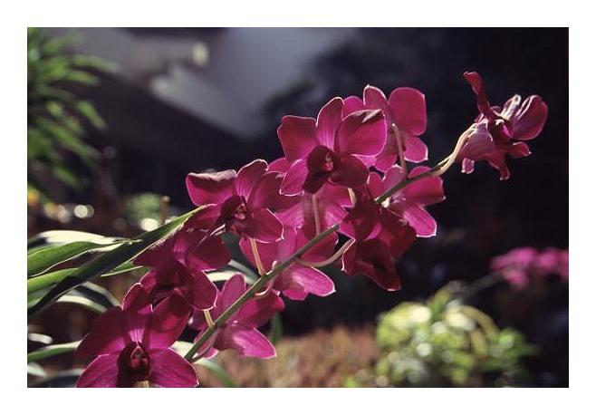 Orchideenrispe, Sri Lanka