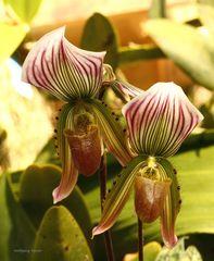 Orchideenschau auf der Mainau