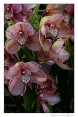 Orchideenstrauch