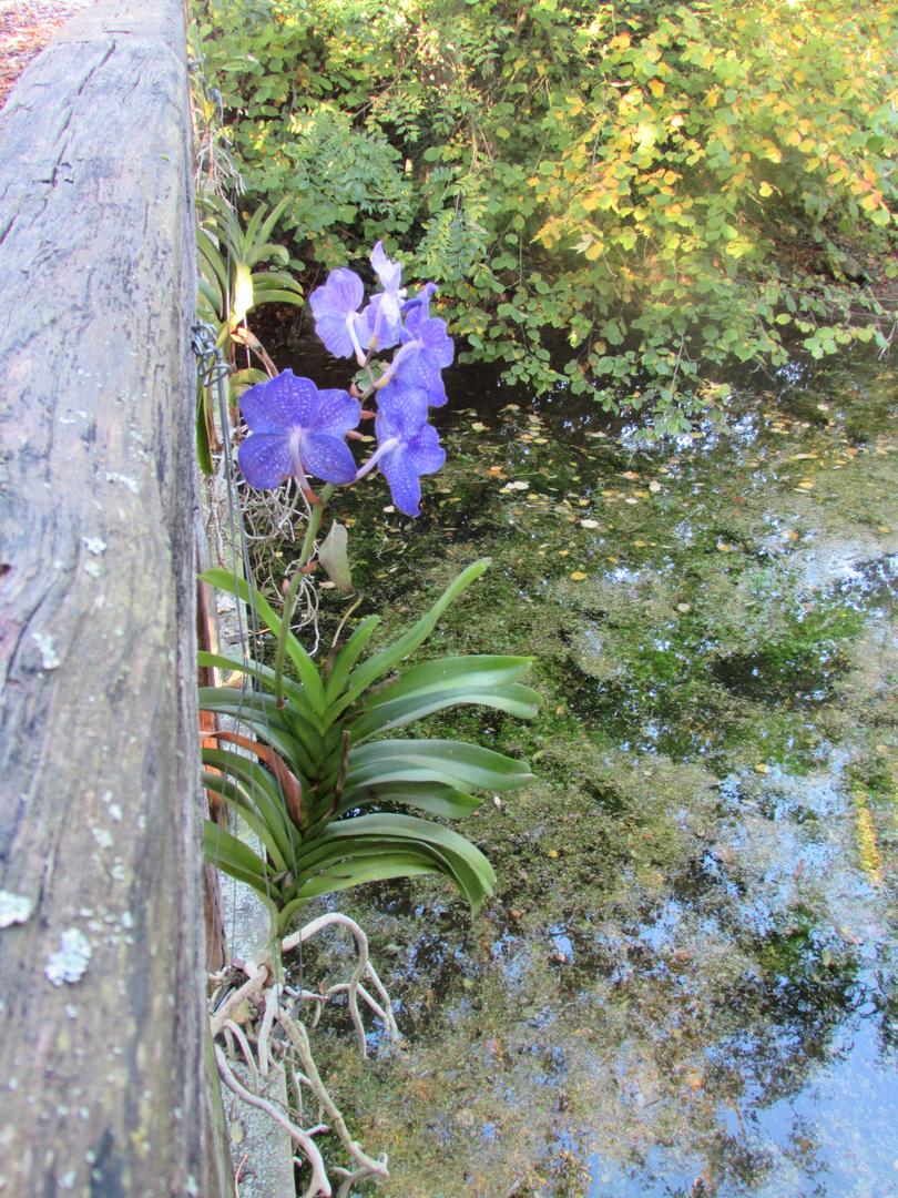 ..Orchidées..