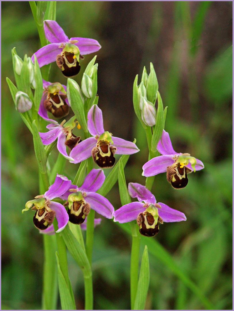 Orchidées abeille  --  Ophrys apifera