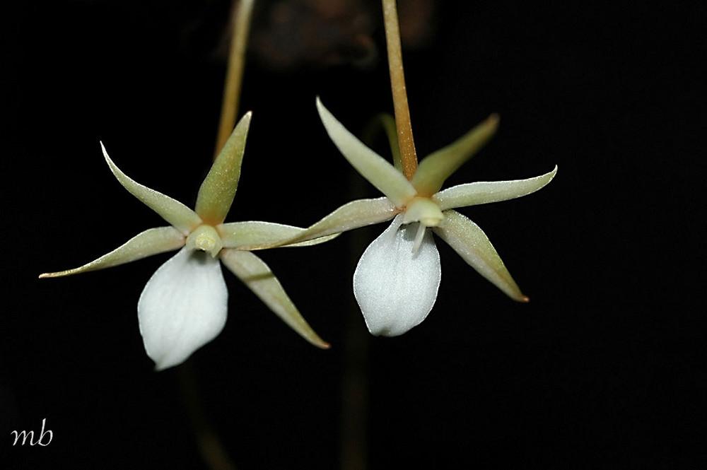 orchidées aerangis punctata