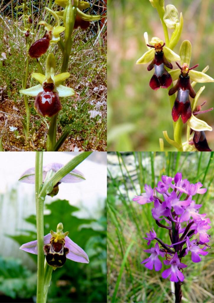 Orchidées indigènes MAI .