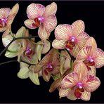 Orchidées Phalaenopsis - Phalaenopsis Orchideen