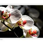 Orchids for Canan (2)