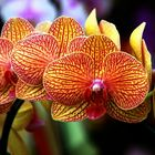 Orchids from Chaing-mai / Thailand