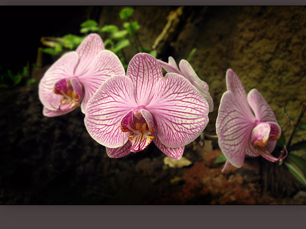 Orchids on the volcanic rocks