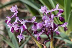 Orchis  longicornu_(2)