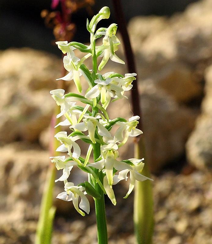 Orchis pallens - Blasses oder Bleiches Knabenkraut  ?