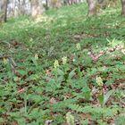 Orchis pallens-Bleiches Knabenkraut/ Biotopaufnahme- Ilm Kreis