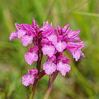 Orchis papillon