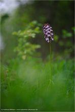 Orchis purpurea / Purpur-Knabenkraut (2)