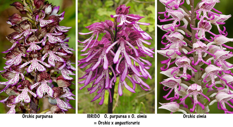 Orchis x angusticruris