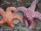 Oregon: Seesterne bei Ebbe