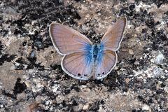 Oriental Gram Blue (Euchrysops cnejus cnejus)