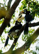 Oriental Pied Hornbill at Sungei Buloh ,Singapore.