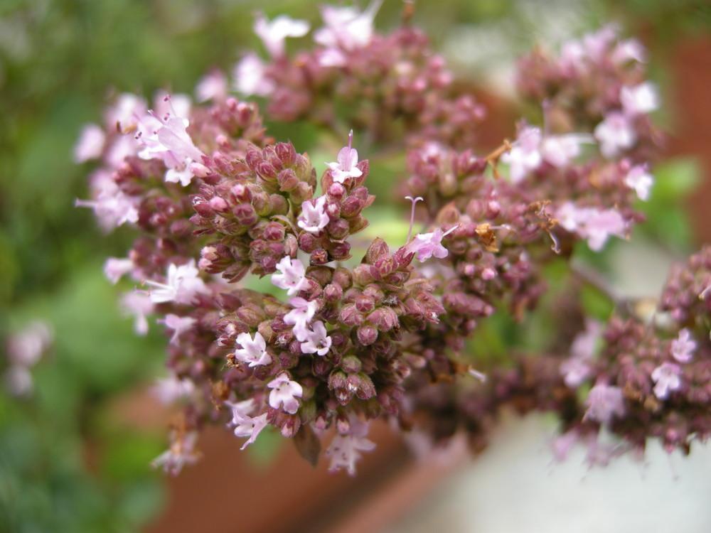 Origano in fiore