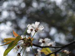 Original zur Blüte