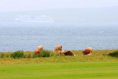 Orkney-Kühe trotzen dem Wetter