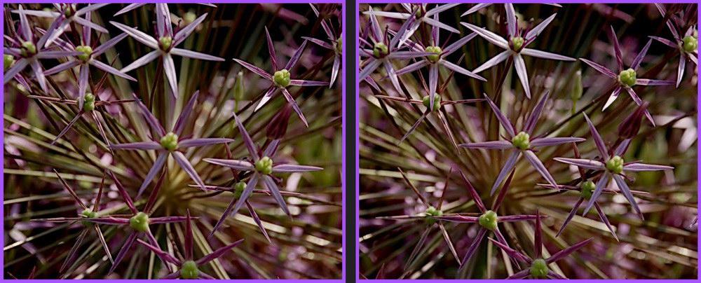 Ornemental onion