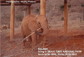orphaned elephant in Daphne Sheldrick's orphanage