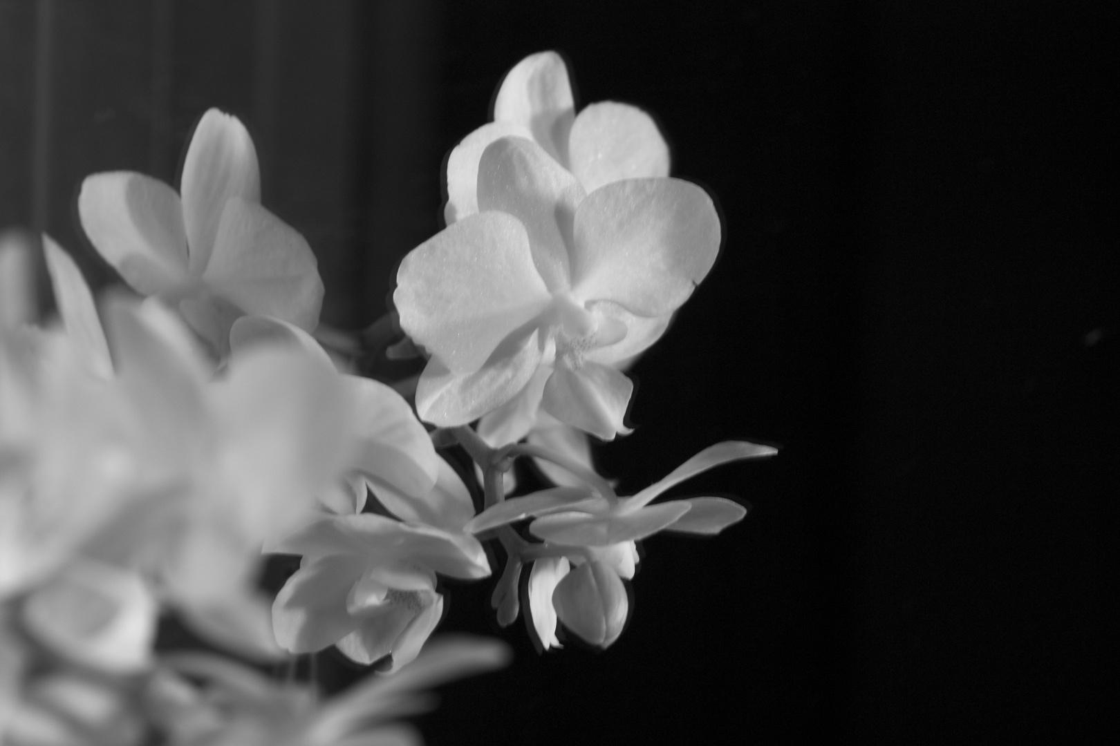 orquidea b/n