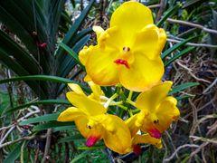 Orquídea de Tailandia