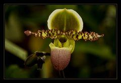 Orquídea verde